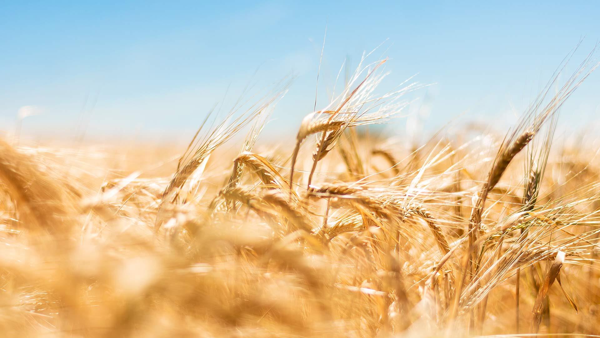 Pšeničný strašiak